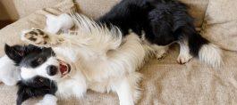 5 dicas para tirar cheiro de xixi de cachorro no sofá